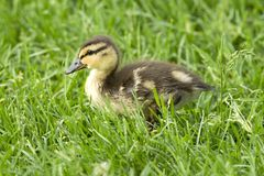 Mallard duckling in Spokane, Washington. Mallard duckling, anas platyrhynchos, walking in grass at Manito Park in Spokane, Washington Stock Photos