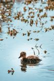 Mallard Duckling Swimming Alone through Sunlit Pond Water. Little baby Mallard duckling, swimming alone through sunlit, sparkling pond water. Marine plants in Stock Photo