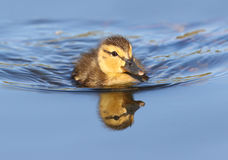 Mallard duckling swimming in blue water with Reflection. Canada Stock Image