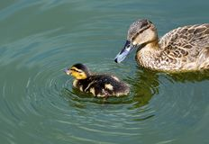 Mallard duckling swimming. Across lake. close up Stock Images