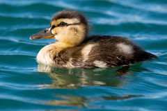Mallard. Duckling swimming in the open water Stock Photo