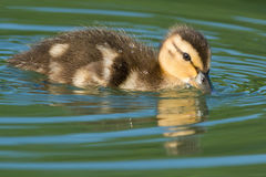 Mallard. Duckling swimming in the open water Stock Image