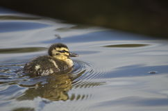 Mallard Duckling. Swimming on a pond Stock Photography