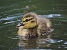 Mallard duckling. Swimming in a pond Royalty Free Stock Photos