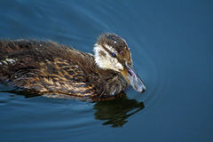 Mallard Duckling Swimming in River Royalty Free Stock Photo