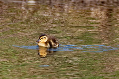 Mallard Duckling Swimming. A Mallard duckling swims on a pond. These small ducks can be found following their mother around in the springtime Stock Image