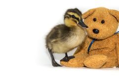 Mallard duckling with teddy bear on a white background. Mallard duckling, Anas platyrhynchos, with a teddy bear on a white background. Cute 2 week old female Royalty Free Stock Photography