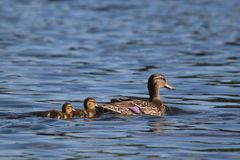 Mallard Duckling Twins Swimming with their Mother Duck. A mother mallard duck swimming on a pond with her twin ducklings Royalty Free Stock Photos