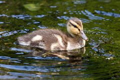 Mallard Duckling Wading in the Lake. Mallard Duck duckling wading in the lake at Crystal Spring Rhododendron Garden in Spring Royalty Free Stock Photography