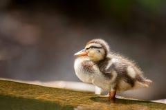 Mallard Duckling Stock Image