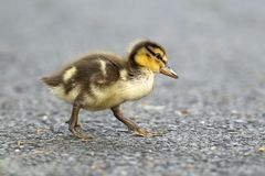 Mallard duckling walks across sidewalk. Mallard duckling, anas platyrhynchos, walking across a walking path at Manito Park in Spokane, Washington Stock Photo