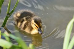 Mallard duckling in the water. Portrait of a mallard duckling swimming in the water Royalty Free Stock Photo