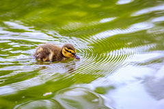 Mallard Duckling Stock Photography