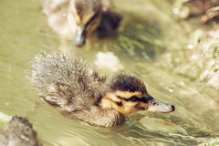 Mallard ducklings – Anas platyrhynchos – in the water, detai. Mallard ducklings – Anas platyrhynchos – in the water. Birds scene. Beauty in Royalty Free Stock Photo