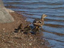 Mallard with ducklings. On the way to their first swim Stock Image