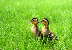 Mallard ducklings Stock Photo