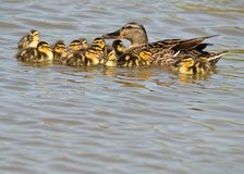 Mallard Ducklings. Swimming in a lake with the Mother duck Royalty Free Stock Images