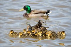 Mallard Ducklings. Swimming in a lake with the Mother duck Royalty Free Stock Photo