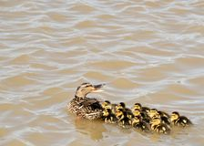 Mallard Ducklings. Swimming in a lake with the Mother duck Stock Images