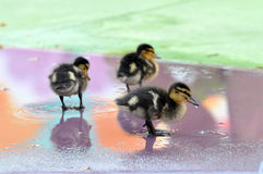 Mallard ducklings. Three cute mallard ducklings walking on shallow water Royalty Free Stock Photo