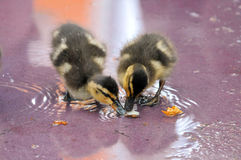 Mallard Ducklings. Two Mallard ducklings eating from shallow water Royalty Free Stock Photography
