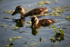 Mallard ducklings. Feeding Stock Photo