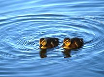 Mallard Ducklings Royalty Free Stock Image