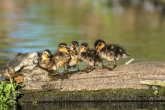 Mallard ducklings Anas platyrhynchos family huddle. Mallard ducklings Anas platyrhynchos family lined up on a log in golden light Stock Photography