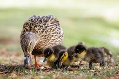 Mallard ducklings Anas platyrhynchos grazing feeding with adul. T female parent mum Stock Photo