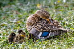 Mallard ducklings Anas platyrhynchos huddled together with fem Royalty Free Stock Photo