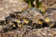 Mallard Ducklings (Anas platyrhynchos) with Mum. Mallard Ducklings (Anas platyrhynchos) resting in a huddle with Mum Royalty Free Stock Photo