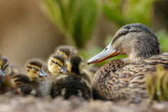 Mallard Ducklings (Anas platyrhynchos) with Mum. Mallard Ducklings (Anas platyrhynchos) resting in a huddle under the watchful eye of Mum Stock Images