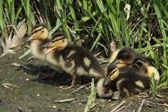 Mallard Ducklings Anas platyrhynchos resting on the lake`s edge. Stock Photos