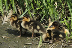 Mallard Ducklings Anas platyrhynchos resting on the lakes edge. Stock Images