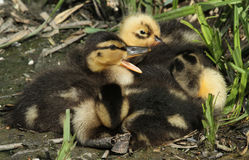 Mallard Ducklings Anas platyrhynchos resting on the lakes edge. Royalty Free Stock Photos
