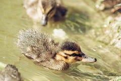 Mallard ducklings – Anas platyrhynchos – in the water, detai Royalty Free Stock Photo