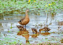 Mallard with Ducklings - Anas platyrhynchos, Worcestershire, England. A Mallard duck - Anas platyrhynchos, watching over her ducklings as they feed at the edge royalty free stock photography