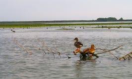Mallard ducklings. In Danube delta, Romania at summer Stock Image