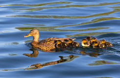 Mallard and Ducklings. Mallard duck swimming through water with ducklings following behind Stock Photography