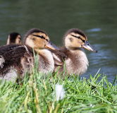 Mallard Ducklings. At edge of pond in summertime Stock Photos