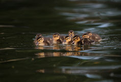Mallard ducklings. Eight ducklings swimming on lake Stock Photography