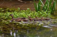 Mallard with Ducklings. Female Mallard duck (Anas platyrhynchos) with four ducklings Stock Image