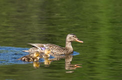 Mallard with ducklings Royalty Free Stock Photography