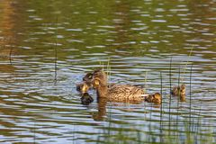 Mallard with ducklings. Mallard female with ducklings swimming in lake Royalty Free Stock Photo