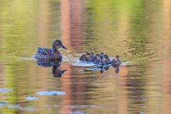 Mallard with ducklings. Mallard female with ducklings swimming in lake Royalty Free Stock Image