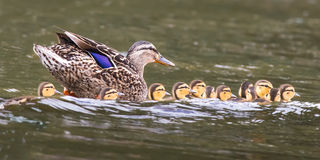 Mallard Ducklings. Mallard hen with brood of baby ducks Royalty Free Stock Photography