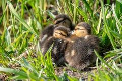 Mallard ducklings huddled together in spring sunlight stock images