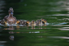 Mallard ducklings on lake Royalty Free Stock Photos