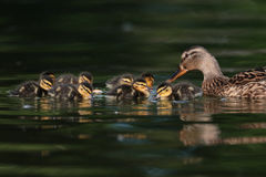 Mallard ducklings on lake Stock Photo