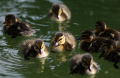 Mallard ducklings on lake. Mallard ducklings swimming on a lake Royalty Free Stock Image